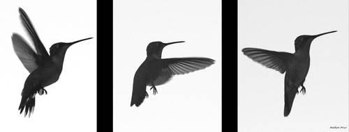 Humming Bird by Nat-photography
