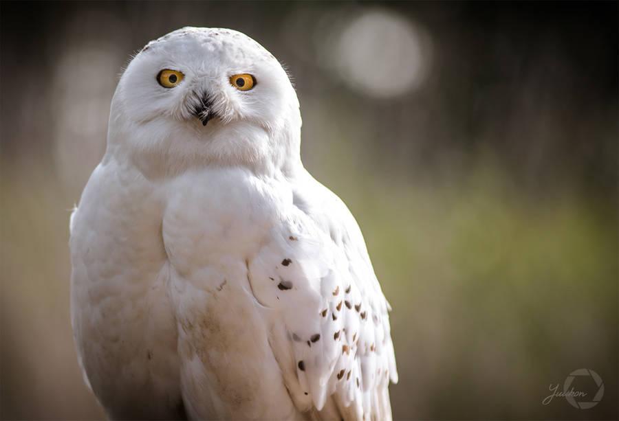 Snowy Owl - Bubo Scandiacus by Yuukon