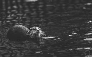 Asian Small-Clawed Otter - Aonyx Cinerea by Yuukon