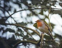 European Robin - Erithacus Rubecula by Yuukon