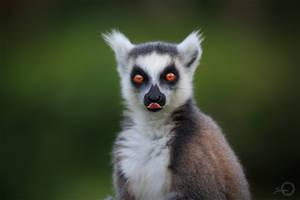Ring-tailed Lemur - Lemur Catta by Yuukon