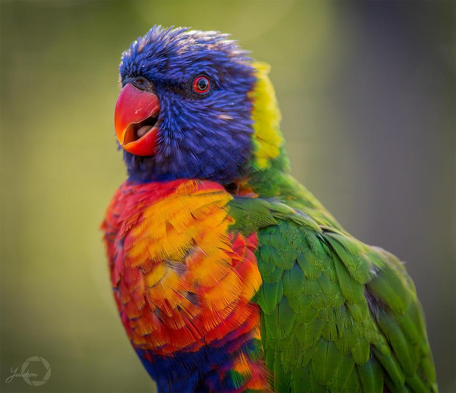Rainbow Lorikeet - Trichoglossus Moluccanus by Yuukon