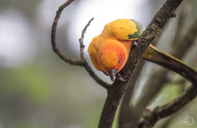 Sun Conure - Aratinga Solstitialis