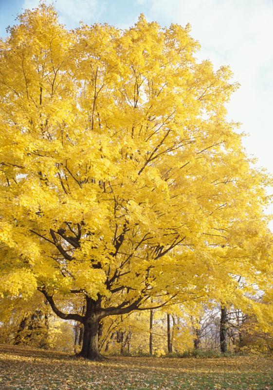 Autumn Maple II