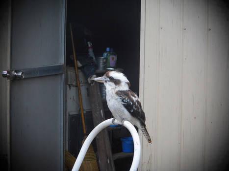 My friend Mr. Kookaburra