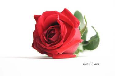 Red rose by Chiara89