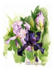 Irises...