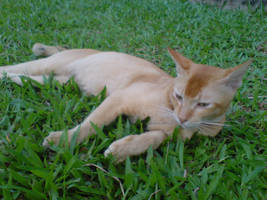ginger laying on green by tnemgarf