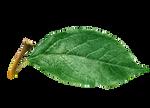 apple leaves PNG