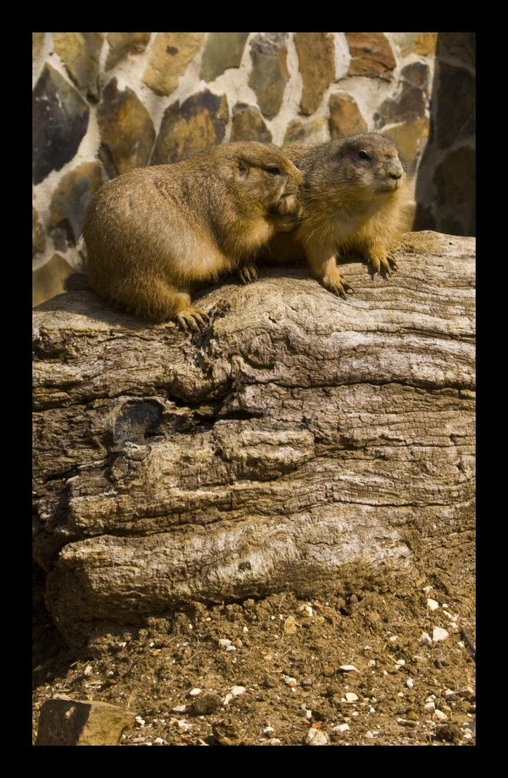 Two Prairie Dogs by SilentXeno