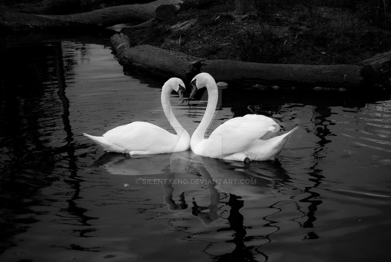 Two Swans BW by SilentXeno