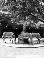 Zebras of Frankfurt by cemito