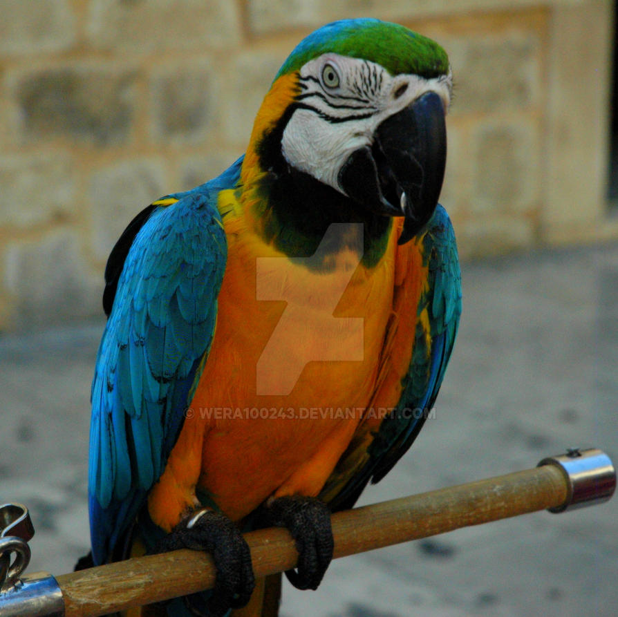 Parrot by wera100243