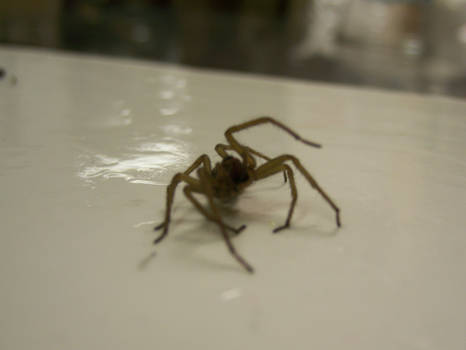Spider in a fly trap 2