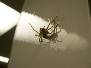 Spider in a fly trap 3