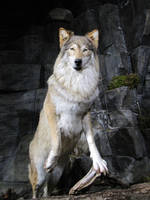 Wolf pose [Stock]