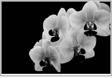 Night Orchids