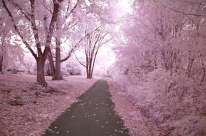Cherry Blossom Way