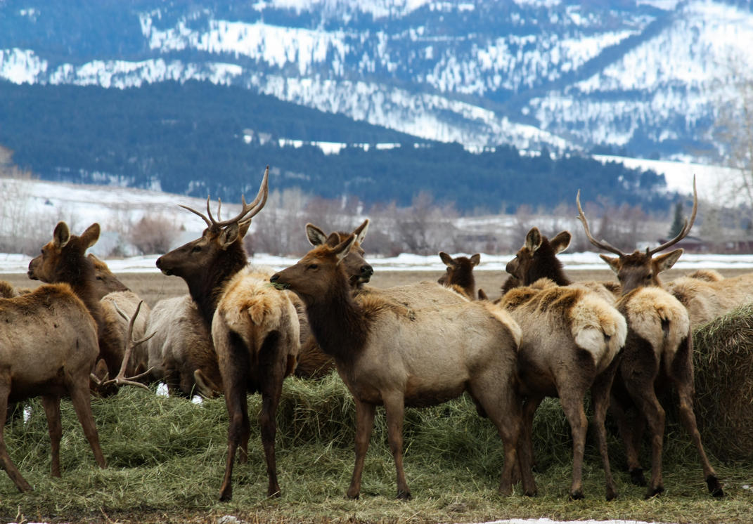 Elk in the Yard by 4everN3rdy