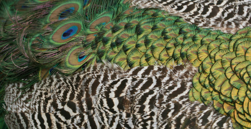 Peacock texture by Sheiabah-Stock