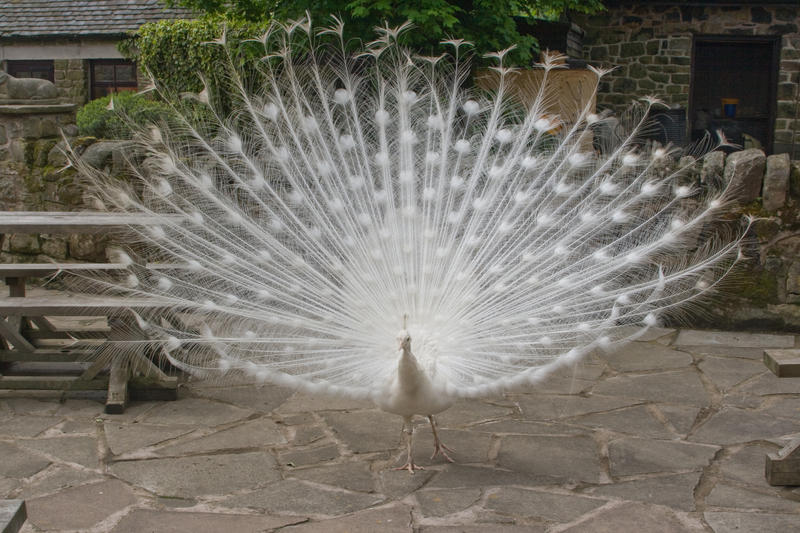 White Peacock by Sheiabah-Stock