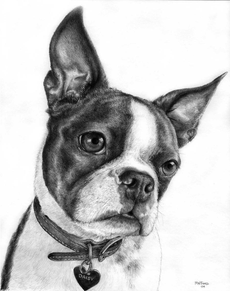 boston terrier drawings daisy by mwford on deviantart 7232