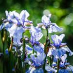 Iris6