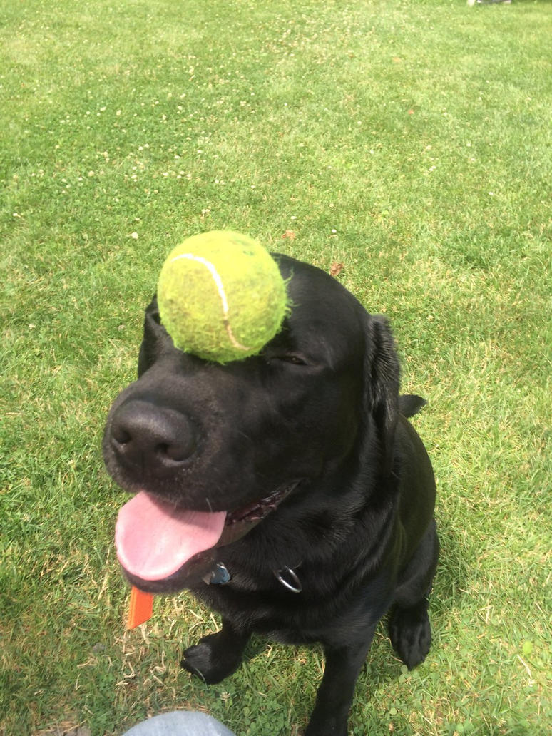 Image of Alex's black labrador Brukor looking happy with a tennis ball balanced on his face as he sits.. - Classification of the dog carnivore verses omnivore
