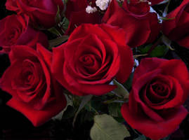 red roses by tijir