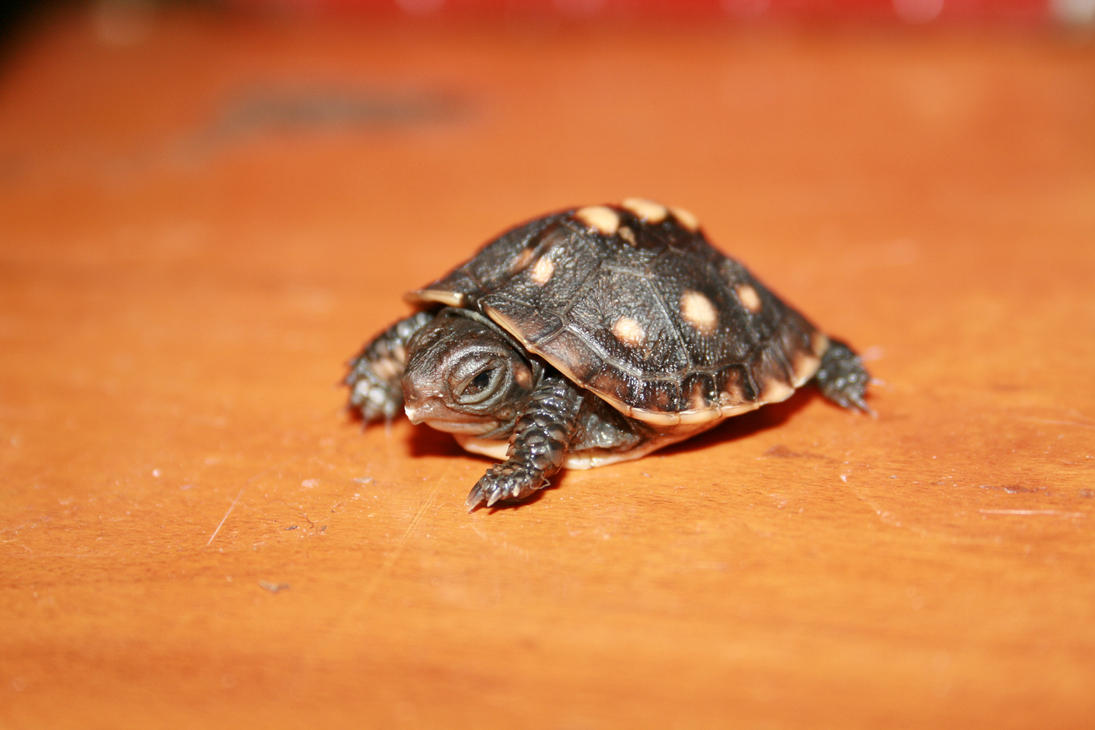 box turtle baby by Ample-Mouse on DeviantArt Really Cute Baby Animals Pictures