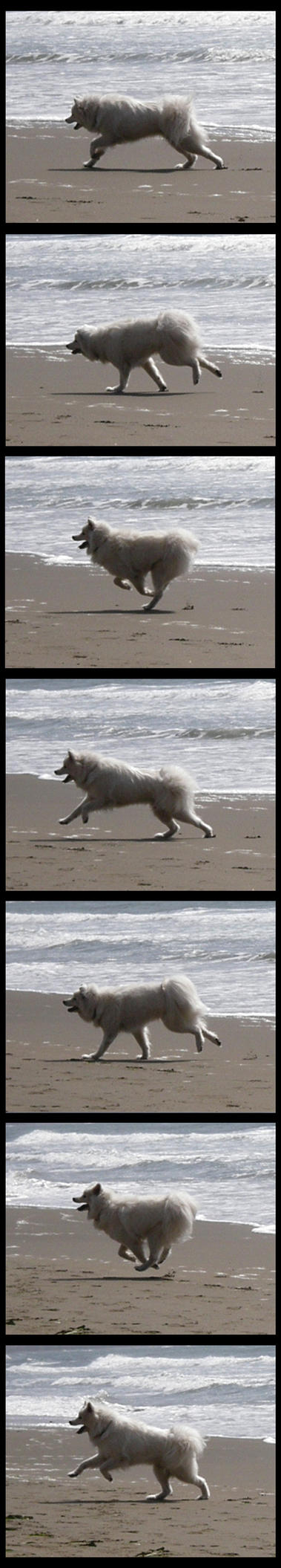 Samoyed Run Cycle by Enzyme-Action
