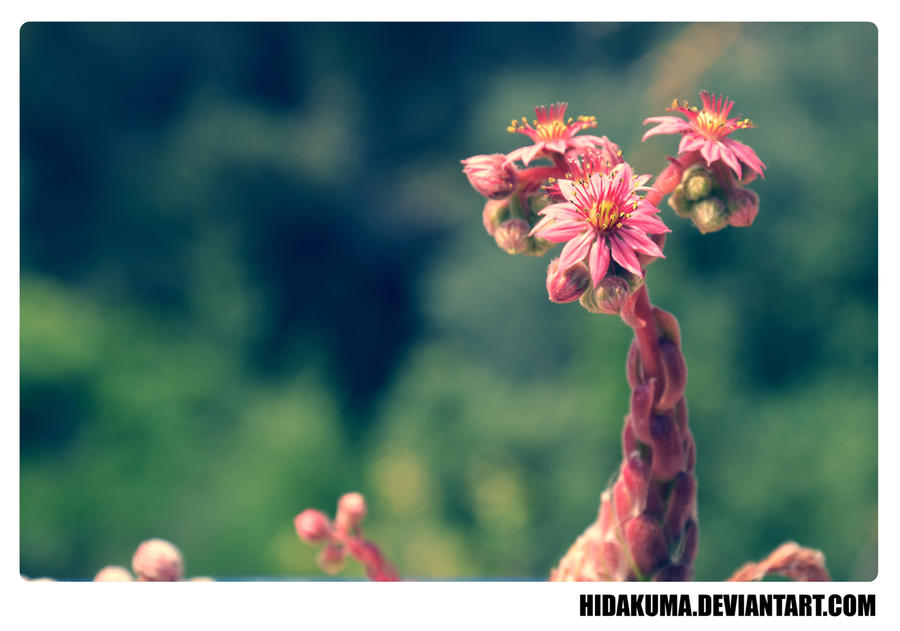 Cactus Flower by HidaKuma