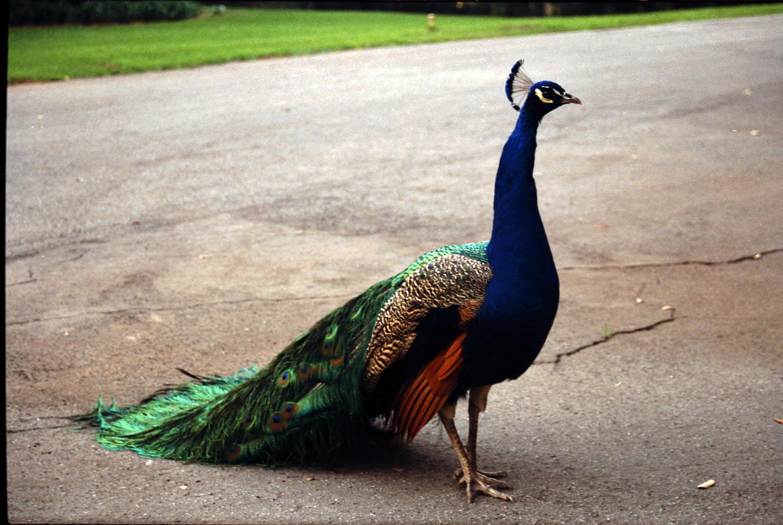 Peacock1 by digitalife