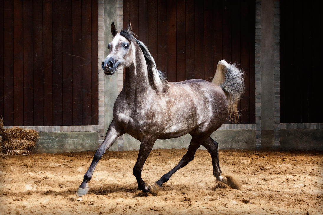 The world famous arabian horse page 4 - Arabian horse pics ...