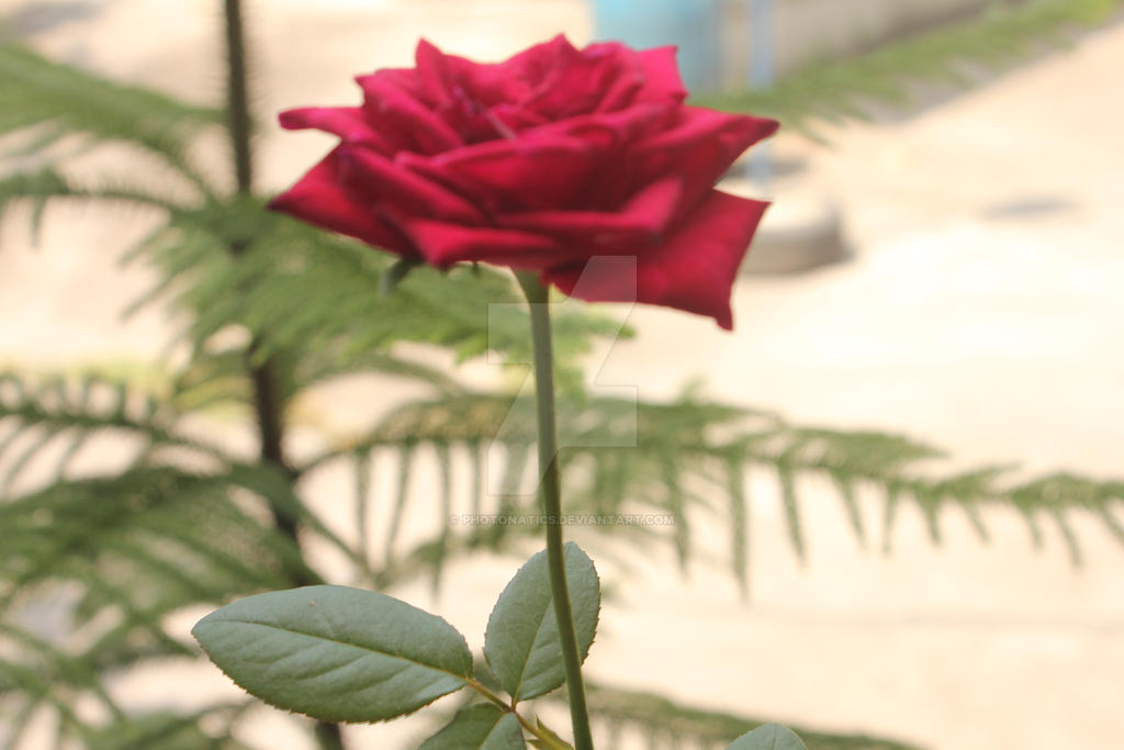 Rose Bloom... by photonatics