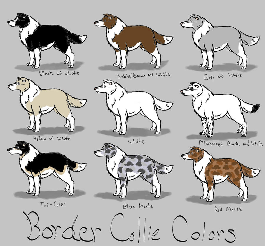 Border Collie Colors Ref by AzulaMoonWolf on DeviantArt