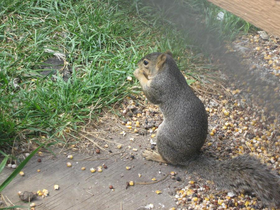 Wild Animal Squirrel wallpaper