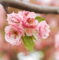 Blossom by listoman
