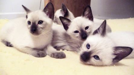 Siamese Kittens Lounging
