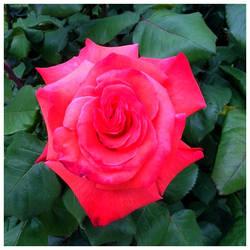Spring in my garden 2018: Rose 4