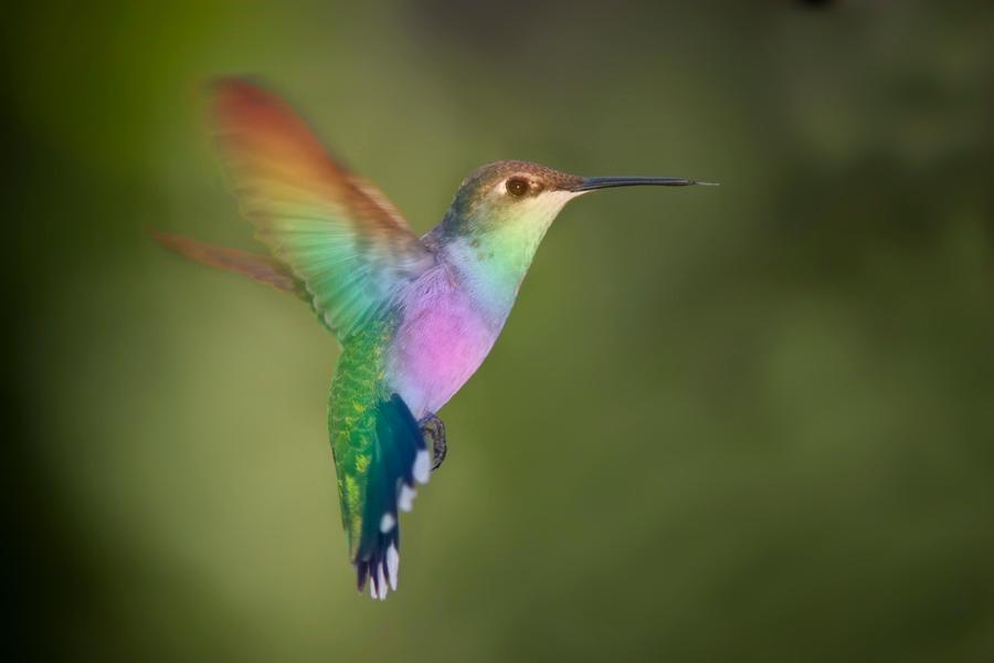 Rainbow Hummingbird By Bluemoongem