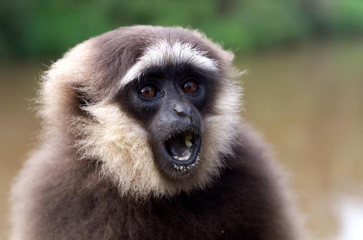gibbon by kodore