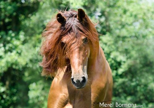 Gayo V - chestnut PRE stallion