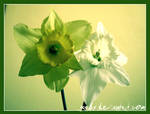 The Jonquils by Gaabs