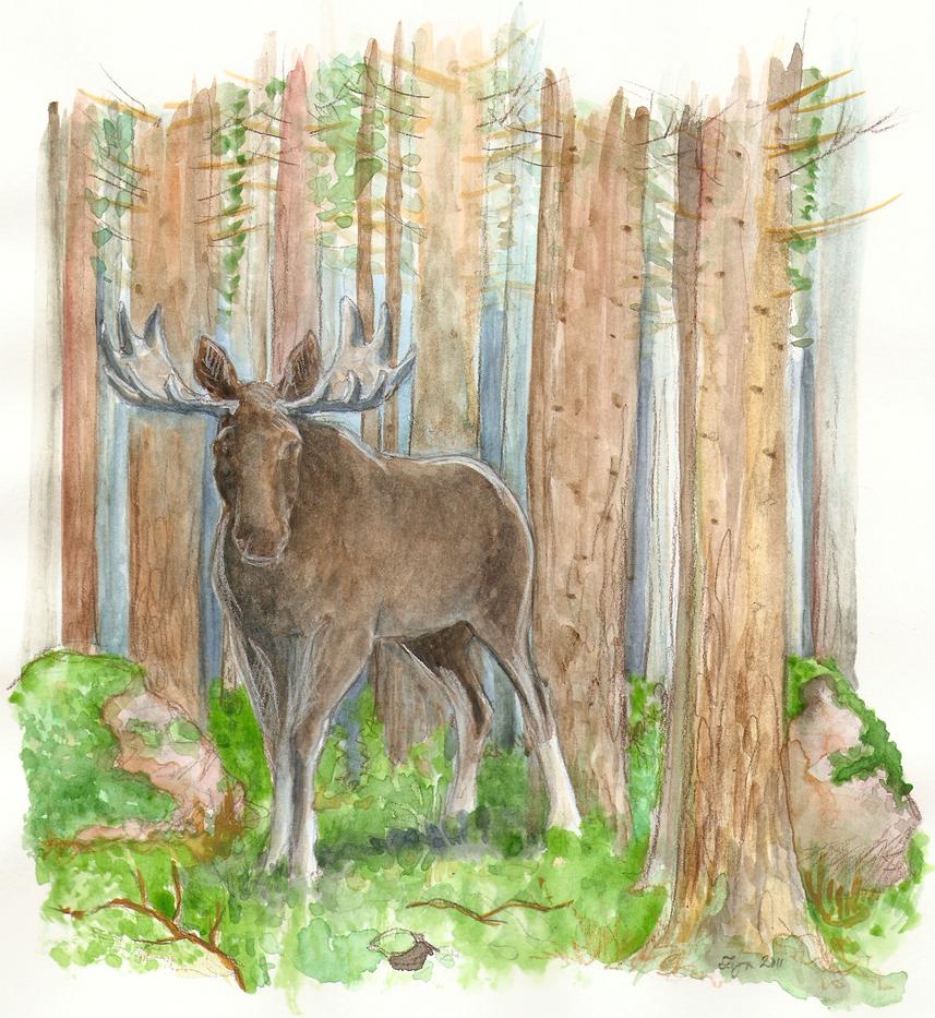 Eurasian elk - photo#23