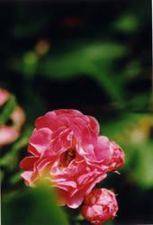 Pink Folds by homogangbangfagbag