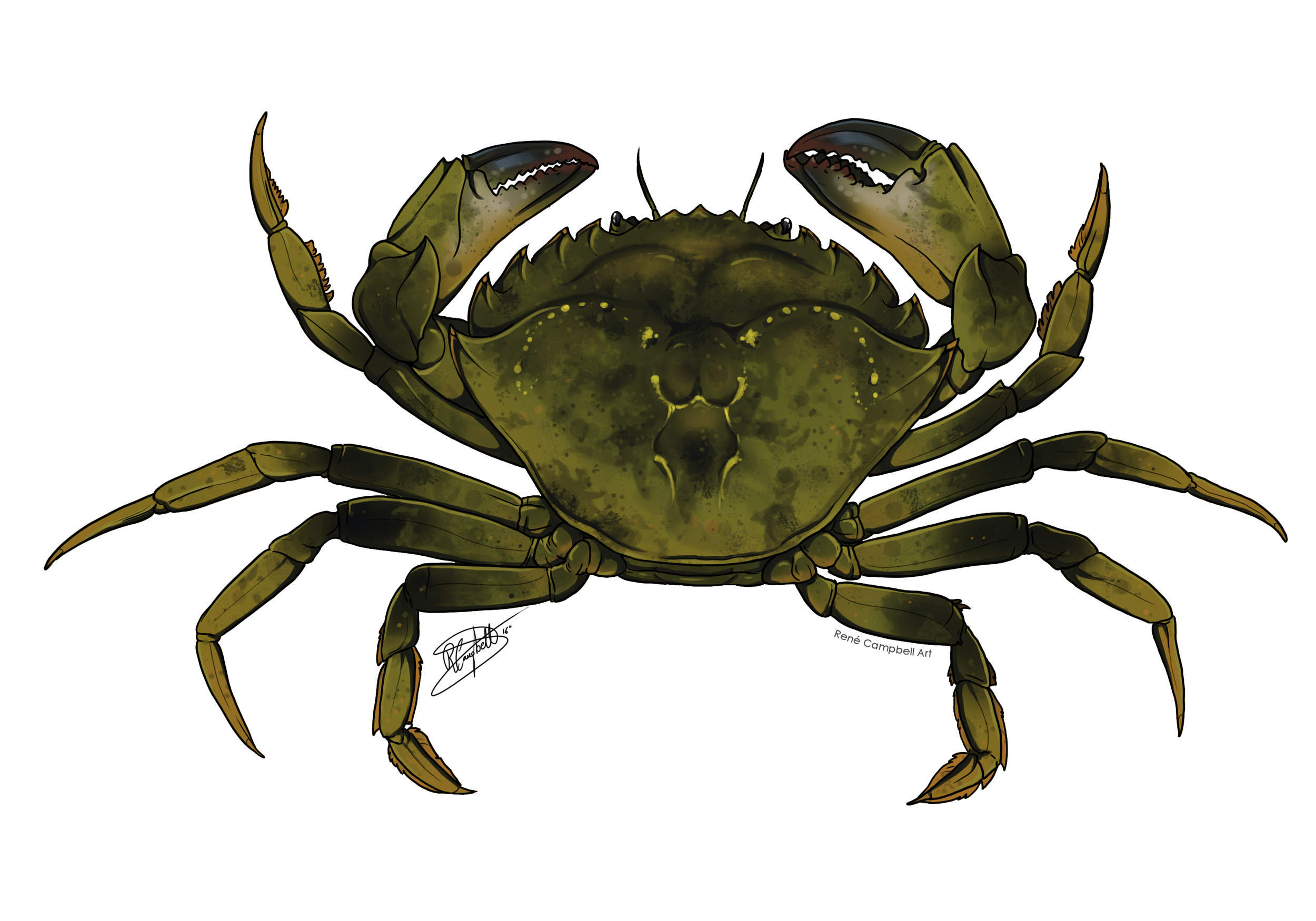 Maryland Blue Crab Regulations