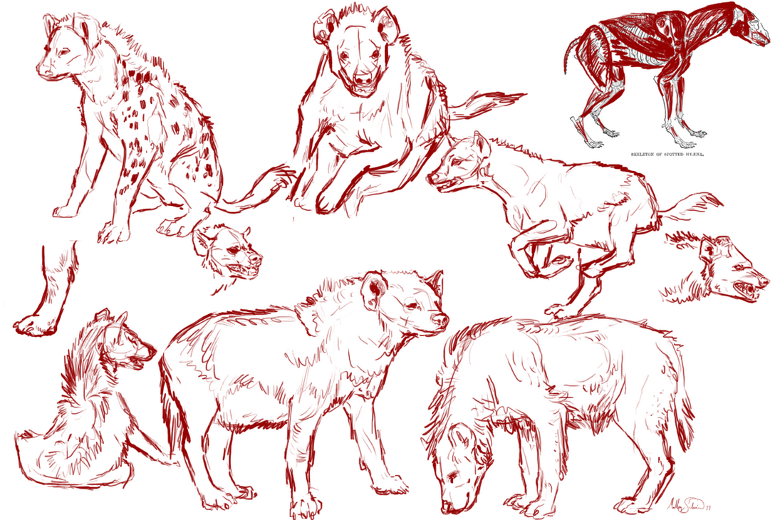 Spotted Hyena Study Sketches by Majass