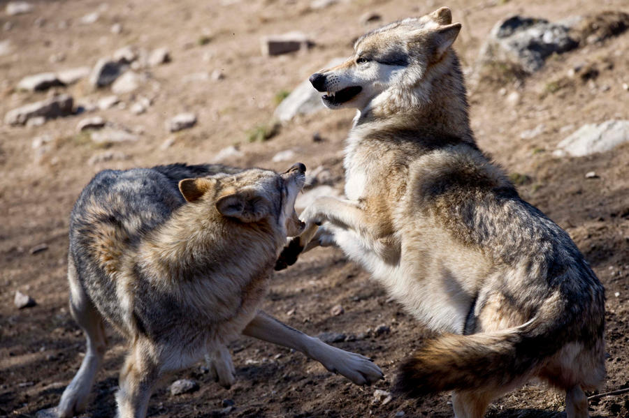 был картинка бой волков его фотографией