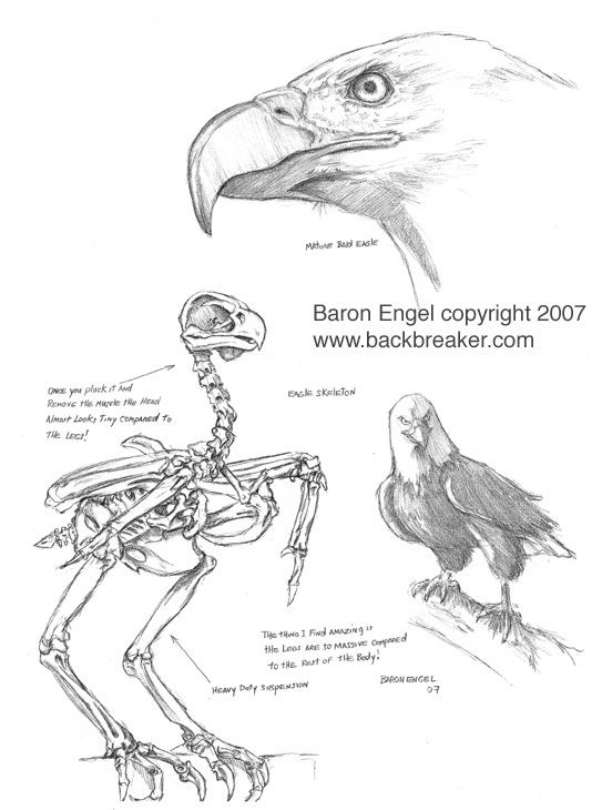 bald eagle study 01 by baron